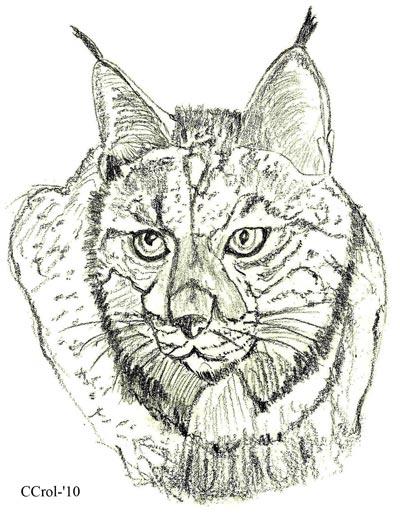 Iberian Lynx Drawing Iberian Lynx Drawing Courtesy